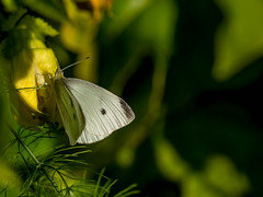 Chasing a white butterfly around the passionfruit. (NOL LUV DI 2) Tags: garden butterfly