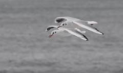 Gaviotas reidoras (ignaciosuarez734) Tags: gaviotas aves birds gulls