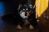 half asleep in the sun 45/52 (sure2talk) Tags: halfasleepinthesun taivas finnishlapphund snooze sunlight sunlit sun home nikond7000 lensbaby lensbabycomposerpro sweet50optic lensbabylove 117picturesin201786itsbeenalongday we12112017 52weeksfordogs 4552