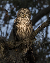 In the Spotlight (PeterBrannon) Tags: bird birdphotography circlebbarreserve florida lakeland nature shadows strixvaria wildlife barredowl owl