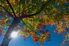 The Illustration of Autumn - line art (Howard L.) Tags: autumn dscrx100m4 flare foliage sony2470mmf1828 sunlight tree oaklandlake theillustrationofautumn lineart drawing colorful
