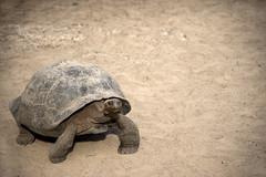 Galapagos Turtles (elparison) Tags: turtles tartaruga galapagos animals wild wildlife sand exploretheworld explore adventure