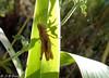 Criquet en transparence ! (jean-daniel david) Tags: nature insecte insectevolant lumière vert feuille iris criquet closeup macro transparence bokeh o