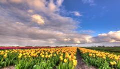 Parallel rows of tulips. (Alex-de-Haas) Tags: oogvoornoordholland 1635mm d750 dutch europe hdr holland nederland nederlands nikkor nikon noordholland thenetherlands clouds landscape landschap lucht nature natuur skies sky tulip tulipfields tulipa tulips tulp tulpen tulpenvelden wolken
