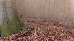 the elder (Alta Alteo) Tags: buchen wald laub herbst autumn leaves laubwald buchenwald worldheritagerhinevalley
