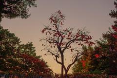 Autumn (withcamera) Tags: autumn namsan persimmon 가을 남산 감나무 seoulnamsan 숲 forest plants mushroom snail sonycameras 서울 seoul southkorea