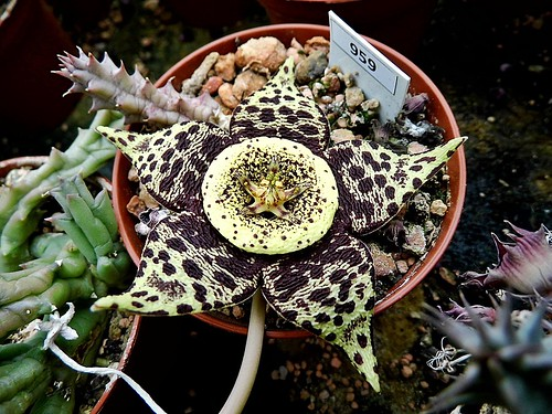 Orbea flower