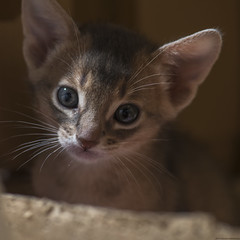 Kittens Week Five 57 (peter_hasselbom) Tags: cat cats kitten kittens abyssinian 5weeksold flash 1flash ledlight 105mm blue