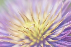 Heart and Soul (Anna Kwa) Tags: clematis flower macro dof colors bokeh nature gardensbythebay flowerdome singapore annakwa nikon d750 afsvrmicronikko105mmf28gifed my heart soul always dreams omm seeing throughmylens memories makeawish destiny fate journey life wmh