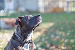 Squirrel Hunting (twospringers) Tags: pitbull dogchasingsquirrels pitty fujifilm xt2
