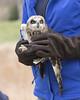 Short-eared Owl Release - Short-eared Owl - Asio flammeus (Dave Boltz) Tags: canon7dmarkii birds virginia wildlife nature outdoors shortearedowl asioflammeus owl shorteared blandyexperimentalfarm clarkecounty