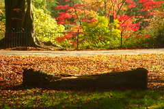 Red Maple View (Dave Roberts3) Tags: wales gwent newport autumn fall maple acer landscape leaf leaves log bench light shadows shade fence path