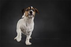 Beware (Marijke M2011) Tags: terrier jackrussell roughcoatedjackrussellterrier puppy littledog dogportrait petportrait reutje indoor studiolightning hond hondenportret animal huisdier studio onschuld cute