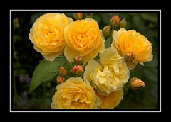 A bundle of sunshine (Audrey A Jackson) Tags: canon60d rosemoor rhs garden roses petals perfume beauty devon closeup
