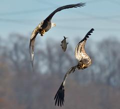 Is it yours or mine? (CU TEO MD) Tags: conowingo thewildlife wildlife outdoor eagle baldeagle fish inflight explore maryland ngc twop soe npc artofimages simplysuperb sigma150600mmsport sigma sigma150600mmf563dgoshsm|s nikon d500 conowingodam
