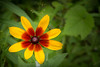 Flower By The Mailbox (Robert F. Carter Travels) Tags: flowers tedsflower flower orange yellow blackeyedsusan rudbeckiahirta cappuccino