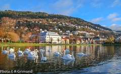 Bergen (2000stargazer) Tags: bergen norway city park muteswans swans landscape pond reflections mountains cityscape birds fauna canon nature november autumn