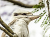 "In the Jacaranda Tree (""Pam's Pet Pictures"") Tags: jacaranda jacarandatree kookaburra availablelight bird flower garden tree wildbird"
