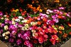 The botanical Gardens in Akureyri Iceland. (Eddie Crutchley) Tags: cruise2017norwayicelandireland europe iceland akureyri outdoor botanicalgarden flowers sunlight beauty