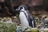 Penguin (maclapt0p) Tags: ouwehandsdierenpark rhenen animals netherlands nederland