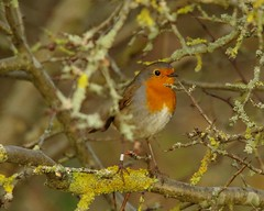ROBIN IN BUSH AUTUMN (5) (Simon Dell Photography) Tags: robin red breast christmas berrys sheffield simon dell photography nature wildlife bird wild garden pond animal photo autumn winter leafs reflection 2017 nov hackenthorpe s12