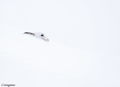 Mountain Hare (cameron85) Tags: mountain hare brown blue scotland scottish highlands cairngorms national park wildlife nature arctic mammal canon 7d mark ii sigma 150 600 contemporary glenshee