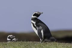 The shy one-Magellanic Penguin (Chantal Jacques Photography) Tags: magellanicpenguin falklandislands bokeh depthoffield wildandfree