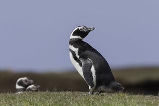 The shy one-Magellanic Penguin