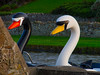 Hello Mr and Mrs Swan (RS400) Tags: swan boats pedal water canal wow cool travel white black enjoying relaxing bude cornwall southwest uk olympus evening grass wall