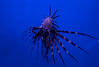 Lionfish (ct_purley) Tags: canon 5d mark iv aac advanced aquarium consultancy reef tank saltwater corals lionfish lion fish