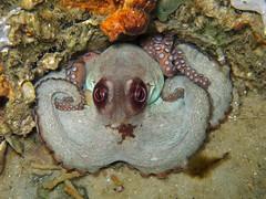 Octopus 2, Navarre Beach, Florida (Hawkfish) Tags: floridapanhandle florida gulfofmexico snorkeling underwater marinelife octopus canonpowershotg7xmarkii navarre navarrebeach navarrebeachartificialsnorkelingreef