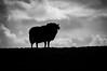 Got just about enough Ram (PSHiggins) Tags: ram sheep anglesey mon ynys ewe cymru wales