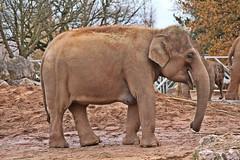 IMG_0796 (jaybluejeans94) Tags: chester zoo elephant elephants wild nature animal animals chesterzoo