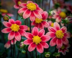 not plastic (Christian Collins) Tags: canoneos5dmarkiv ef100400mmf4556lisiiusm notplastic plasticflowers dhalia dhaliahill midland michigan mi august 2017 flower flor