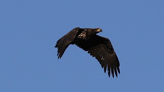 Flying Immature Bald Eagle