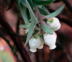 J20171207-0040—Arctostaphylos luciana—RPBG—DxO (John Rusk) Tags: dxofujivelvia50preset ebparksok taxonomy:kingdom=plantae plantae taxonomy:subkingdom=tracheophyta tracheophyta taxonomy:phylum=magnoliophyta magnoliophyta taxonomy:class=magnoliopsida magnoliopsida taxonomy:order=ericales ericales taxonomy:family=ericaceae ericaceae taxonomy:subfamily=arbutoideae arbutoideae taxonomy:genus=arctostaphylos arctostaphylos taxonomy:species=luciana taxonomy:binomial=arctostaphylosluciana arctostaphylosluciana santaluciamanzanita taxonomy:common=santaluciamanzanita