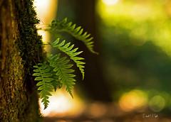Ferns (Darrell Wyatt) Tags: fern tree forest