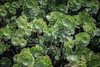Succulent Flowers ((arteliz)) Tags: plant flora plants pattern helios helios442 arteliz artelizphotography succulent succulents houseleek sempervivumarboreum aeoniumarboreum