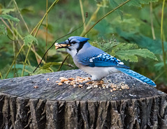 Blue Jay with a mouthful! (hickamorehackamore) Tags: bluejay ct connecticut cyanocittacristata haddam nwf backyard certified habitat peanuts wildlife