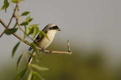 Bay-backed Shrike (as_kannan) Tags: lrk gujarat littlerannofkutch laniusvittatus laniidae