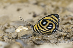 Catagramma pyracmon (Hiro Takenouchi) Tags: butterflies butterfly schmetterling papillon bolivia insect wildlife nature nymphalidae nymphalid