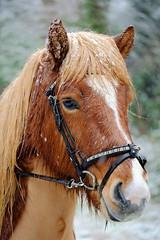 Alert (peeteninge) Tags: horse portrait animal paard portret dier animals dieren fujifilmxt2 fujifilm snow sneeuw xf80mmf28