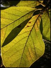 Fall light (hej_pk / Philip) Tags: smartphone lg g3 gwangju kwangju träd tree blad leaf leaves höst 2017 sydkorea snapseed colours