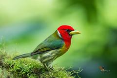 Red-headed Barbet (fernaabs) Tags: redheaded barbet aves piciformes capitonidae eubucco bourcierii barbudo cabecirrojo fernaabs burgalin avesdecostarica