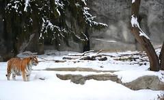 Snow Kitty (timmerschester) Tags: cat tiger winter december kisa detroitzoo michigan royaloak