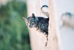 Vasiliy being interested in beautiful kitty passing his villa by. Italy 17 (arsenterzyan) Tags: eos3 canon animals travel italy kodakportra portra160 kodak grain analog film portrait cat pet outdoor