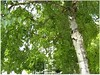 O lieber Gott, Herr Jesu Christ (amras_de) Tags: zeichnung dibuix kresba tegning drawing desegnajo dibujo piirustus dessin crtež rajz teikning disegno adumbratio zimejums tekening tegnekunst rysunek desenho desen risba teckning çizim birke berk betula breza bedoll bríza birk birch betulo kask urki koivut bouleau beith nyírfa birki beržas berzi bjørk bjørkeslekten beç brzoza bétula mesteacan björksläktet hus baum træ stablo boom árbol drvo arbre strom tree arbo puu zuhaitz crann fa arbore tré albero arbor medis koks tre drzewo árvore àrvulu