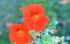 Nasturtium (6) (John Carson Essex UK) Tags: thegalaxy thegalaxystars rainbowofnature supersix