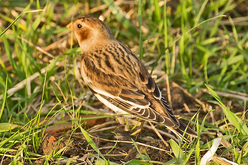 _W4A0947 Snow Bunting (Plectrophenax nivalis)