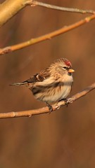 #redpoll #redpole #wildlife #wildlifephotography #britishwildlife #wildbirdwildbird #wildbird #wildlifephotos #bird #canon #sigma #sigmalens #canon750d #ngc #wing #wings #feathers #young #female #washingtonwetlands #Washington #northeast (Steve McMaster) Tags: redpoll redpole wildlife wildlifephotography britishwildlife wildbirdwildbird wildbird wildlifephotos bird canon sigma sigmalens canon750d ngc wing wings feathers young female washingtonwetlands washington north northeast